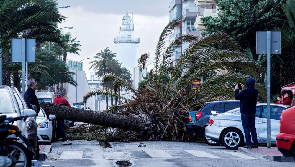 Palmera caída sobre tres vehículos en el Paseo Marítimo Ciudad de Melilla