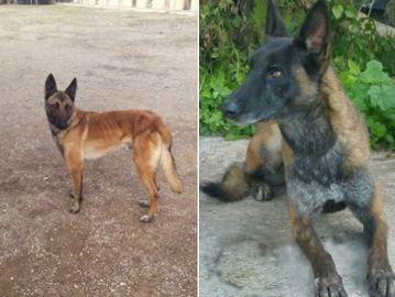 Los perros robados de la asociación 'Héroes de cuatro patas'
