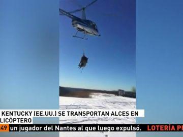 Trasladan un alce en helicóptero