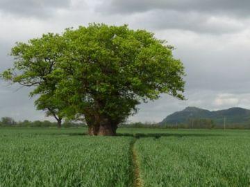 Árbol milenario derribado en Gales
