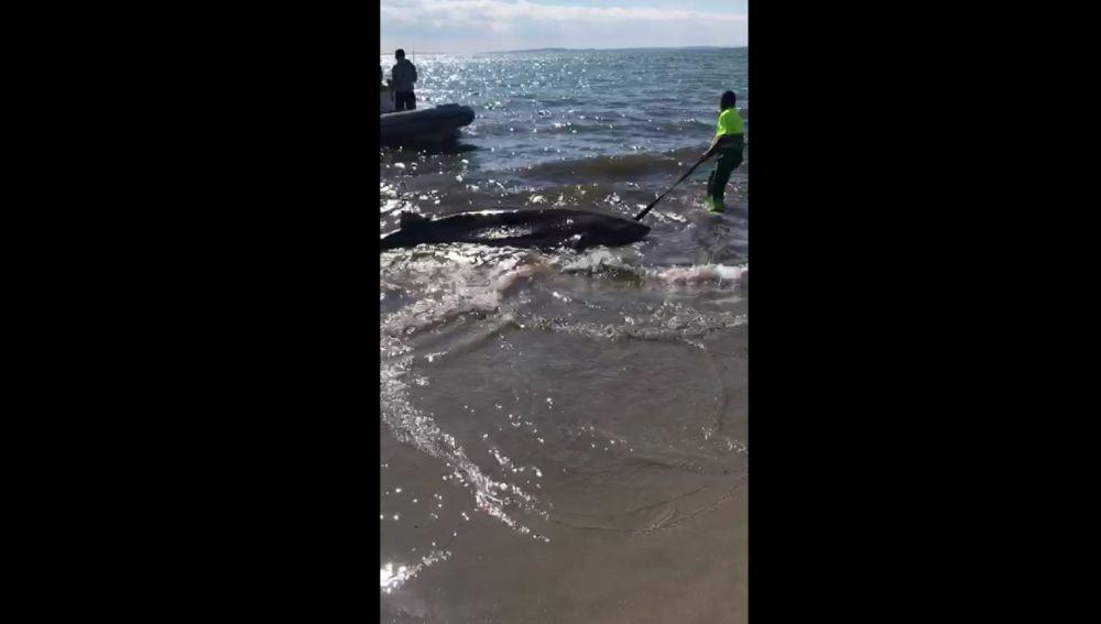 El tiburón localizado muerto en Santa Pola