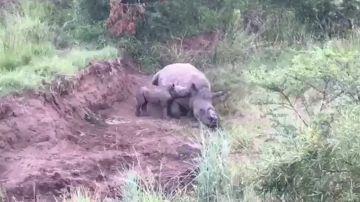 Rinoceronte mutilado