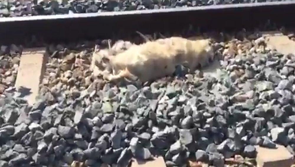 Imagen de uno de los perros muertos en la vía del tren