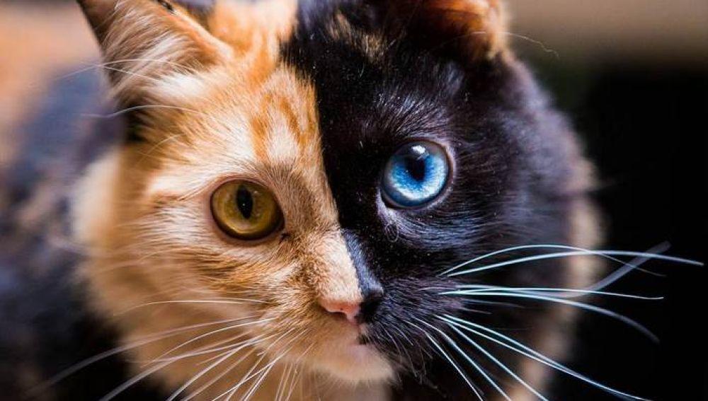 chimera-cat-split-face-different-eyes-gataquimera-30.jpg