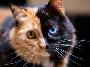 chimera-cat-split-face-different-eyes-gataquimera-30.jpg