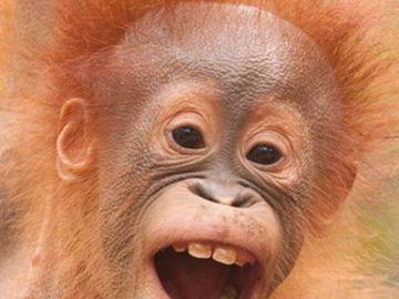 orangutan3.png