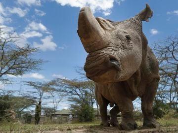 Imagen del último rinoceronte blanco del norte del mundo