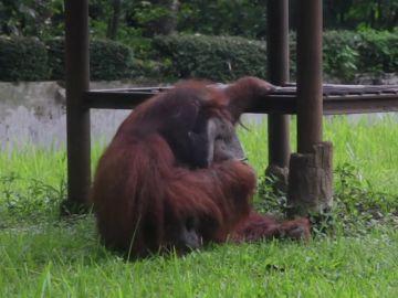Polémica en un zoo de Indonesia por un orangután fumando cigarrillos que le lanzan los visitantes