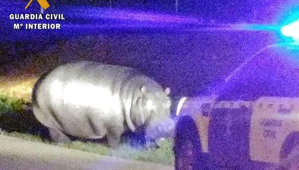 El hipopótamo en una carretera de Badajoz