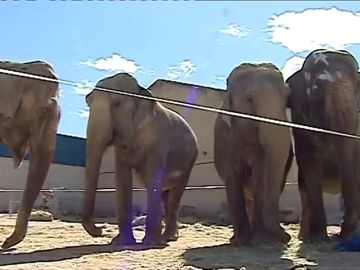 El circo de los elefantes accidentados en Pozo Cañada fue sancionado en Galicia