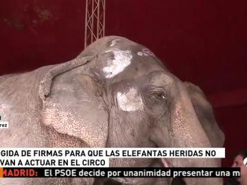 Recogida de firmas para que las elefantas no vuelvan a actuar en el circo