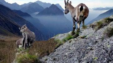 En las montañas, los rebecos y cabras montesas han desarrollado articulaciones y pezuñas para no despeñarse.