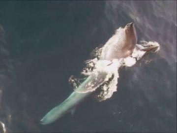 Captan por primera vez imágenes de ballenas alimentándose en la costa de Garraf