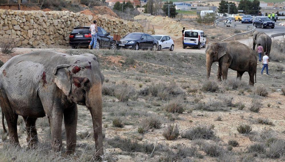 Uno de los elefantes que resultó herido tras volcar el camión en el que viajaba en la A-30, a su paso por Pozo Cañada (Albacete).