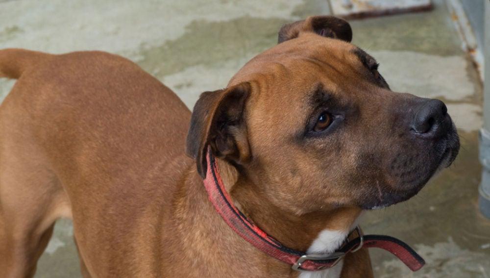 Uno de los perros que se puede adoptar en el Centro de Acogida de Animales de Compañía de Barcelona