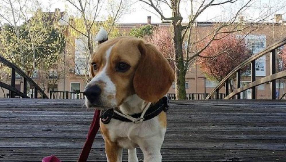 Estudian el comportamiento de los perros para entender su mundo