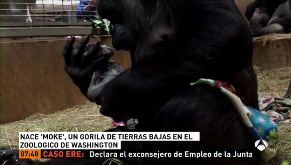 6ec6218697ac Nace en un zoológico de Washington un gorila en peligro de extinción ...