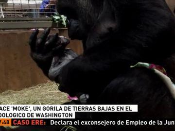 Nace en un zoológico de Washington un gorila de tierras bajas, una especie en peligro de extinció