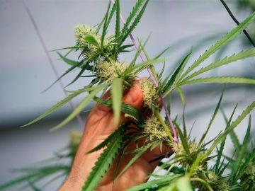 Una planta de marihuana