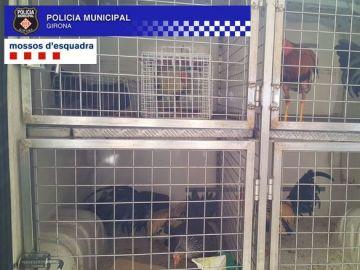 Gallos encontrados en Girona