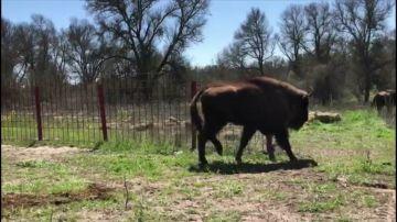 Segovia acoge once bisonte europeos