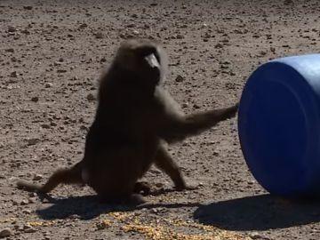 Uno de los monos con un barril
