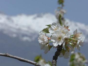 Las intensas lluvias de las últimas semanas han retrasado la floración de los cerezos