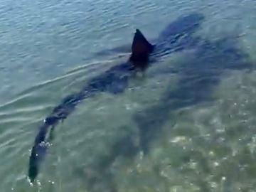 Tiburón en una playa de Fuengirola