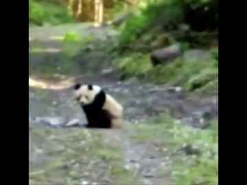 Un campesino chino sorprende en un camino a un cachorro de oso panda gigante