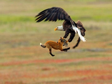 Épica batalla entre un zorro y un águila
