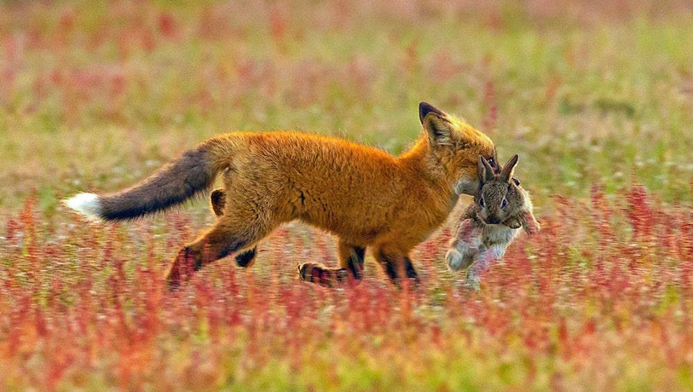 Batalla entre zorro y águila