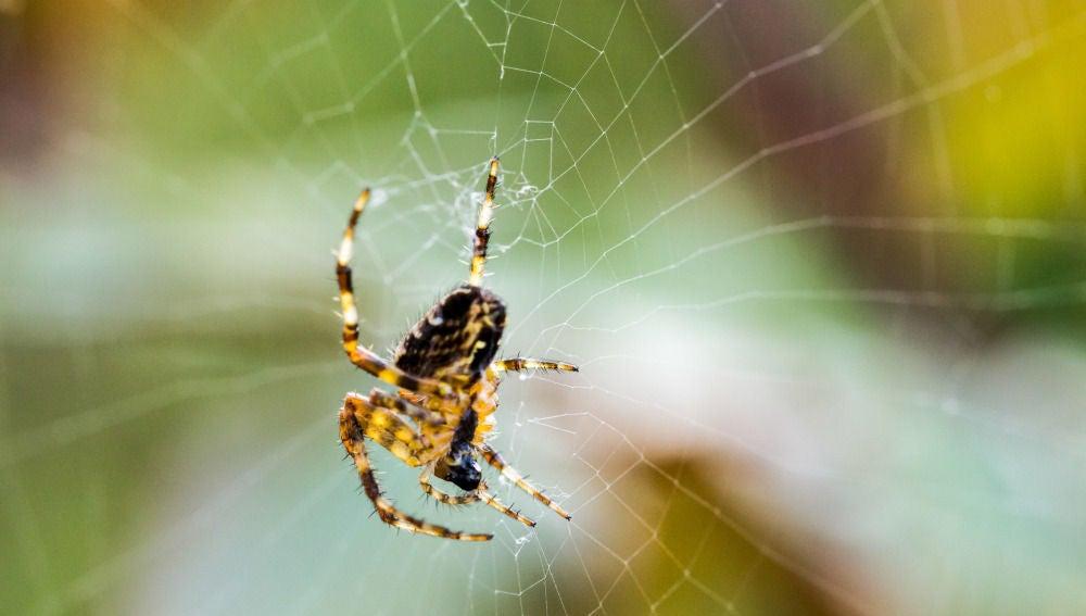 Una araña tejiendo una red para atrapar a sus presas