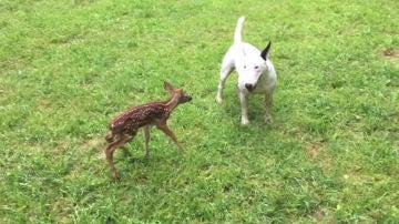 Bull terrier junto a un cervatillo