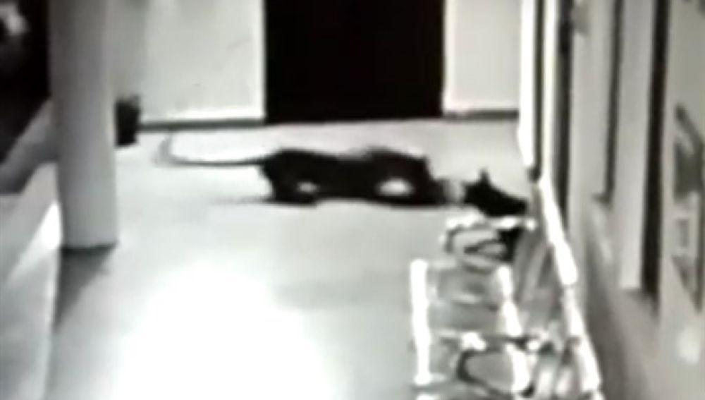 Leopardo contra una perra