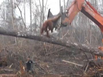 El orangután intentando frenar a la excavadora