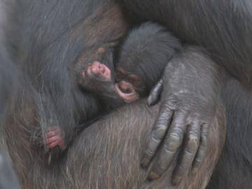 Nace un chimpancé dentro de un programa de reproducción en el zoo de Chester, en Reino Unido