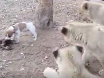 Perro contra leones