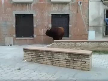 El toro sacrificado en Coria