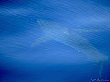 Imagen del tiburón