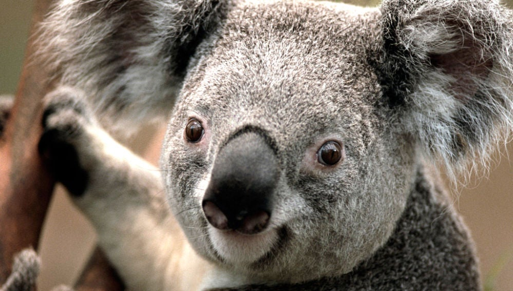Un koala en Australia