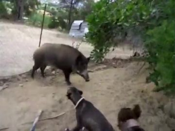 Inhabilitan a un hombre por utilizar a cerdos vietnamitas y jabalíes como animales de 'sparring'