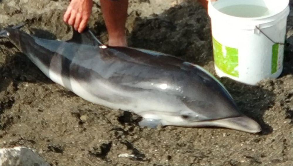 La cría de delfín varada en Málaga