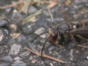 Muere un  hombre por dos picaduras de avispa velutina en el municipio gallego de Viveiro