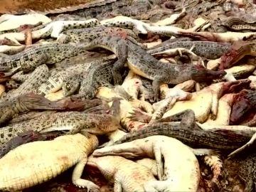 Matan a casi 300 cocodrilos por vengar la muerte de un vecino