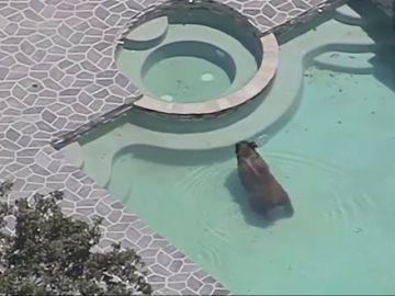 Un oso se pega un chapuzón en la piscina de una urbnización en Los Ángeles