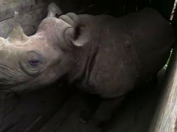 Kenia abre una investigación por la muerte de nueve rinocerontes durante un traslado