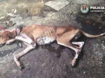 La Policía Local de las Palmas de Gran Canaria rescata a cuatro perros y un hurón que estaban abandonados en el interior de una vivienda