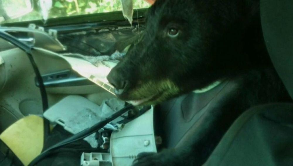 Un oso se cuela dentro de un coche para robar comida