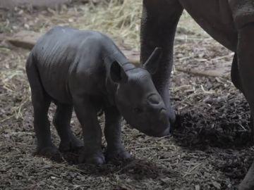 Un rinoceronte negro nace en un zoo en Reino Unido