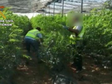 La Guardia Civil detiene a tres hombres por cultivo de marihuana y a otro por transporte de 10.5 Kg de cogollos